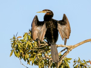 Male Darter : Tyto Wetlands