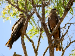 A pair of Black Kites at Rest