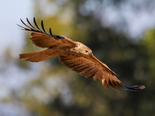 A nice Whistling Kite Flyby