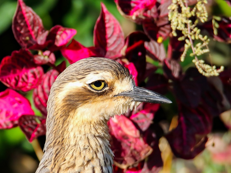 Portrait of a Bush Stone-Curlew