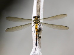 Female Tropical Rockmaster Damselfly