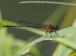 Orange Threadtail Damselfly
