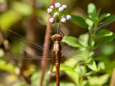 Female Fiery Skimmer Dragonfly
