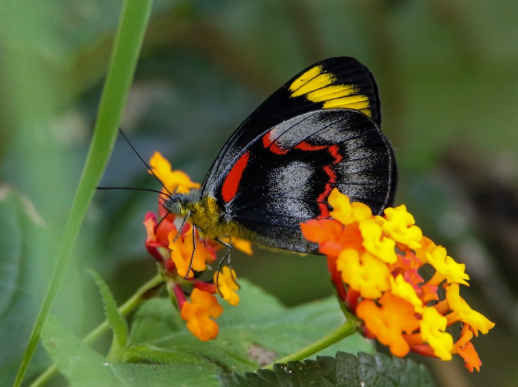 A Common Jezabel feasting on Lantana Flowers