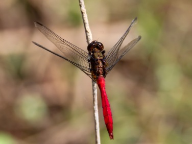 Male Fiery Skimmer Dragonfly