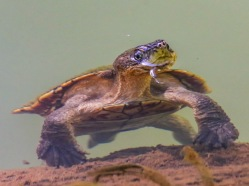 Inquisitive Turtle at Malanda Falls