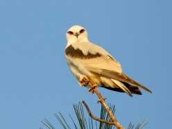 The last light captured this Black-shouldered Kite