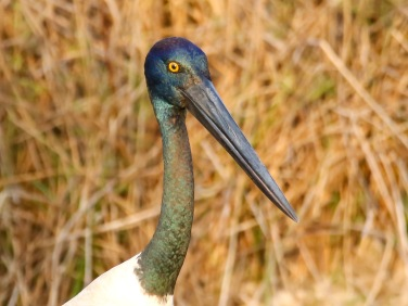 Jabiru up close