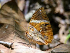Day Moth