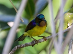 A poor shot of a Brown Throated Sunbird.