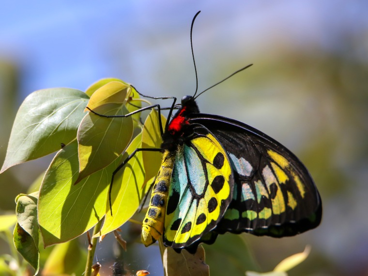 Male Cains Birdwing