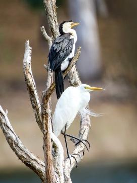 Pied Cormorant & Plumed Egret