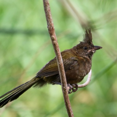 Juvenile Whipbird