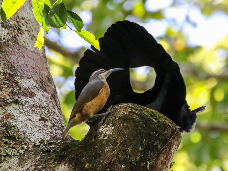 Victoria's Riflebirds
