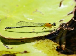 Colorful Blue-tail Damselfly