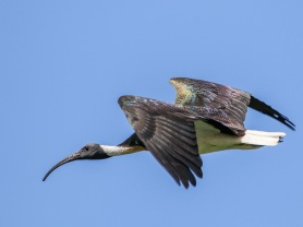 Straw-necked Ibis Flyby