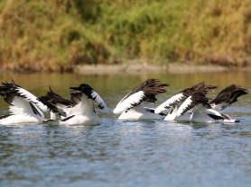 Pelicans Synchronised Fishing