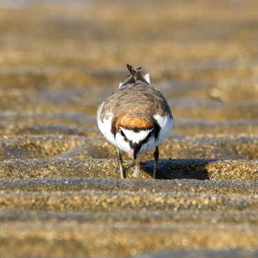 Red-Capped Plover on the hunt