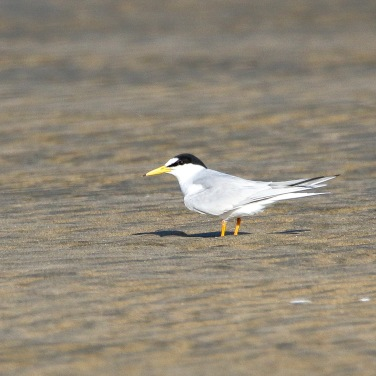 Little Tern (Breeding Adult)